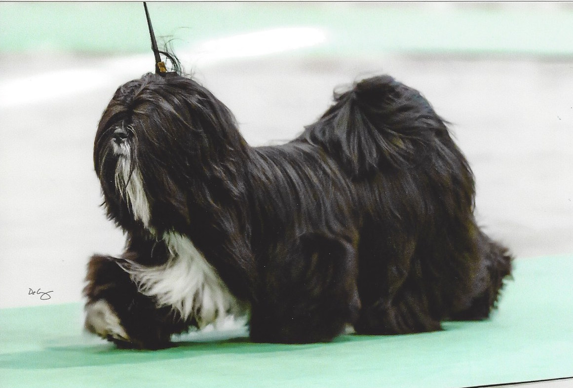 black Lhasa moving in show ring
